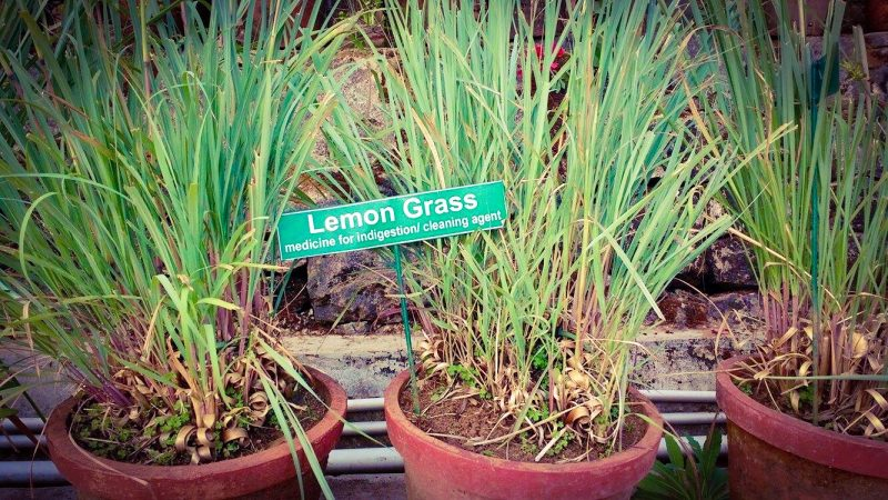 Lemongrass Path
